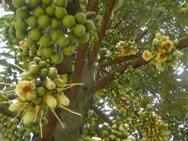 Vai trò của amino acid đối với cây trồng trong quá trình ra hoa, kết trái