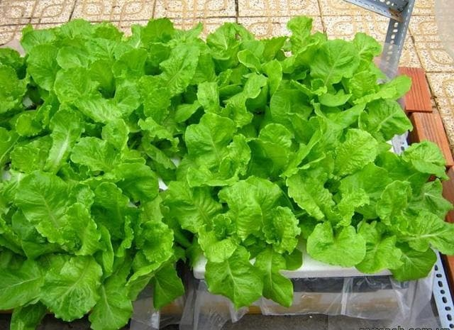các loại rau dễ trồng có rau diếp