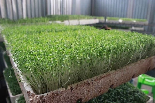Rau mầm dễ trồng giàu dinh dưỡng