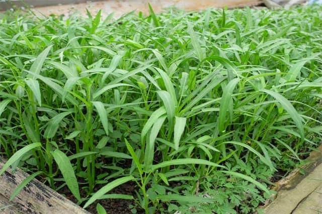 Rau muống dễ trồng tại nhà